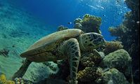 Turtle Red Sea