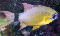 Apogonidae