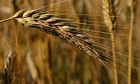Egypt to increase wheat production by up to 75% over 3 years.