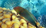 Labridae Fish