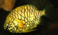 Pineapple-fish