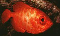Priacanthidae fish
