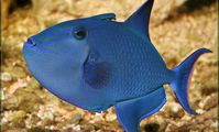 Fish-file triggerfish