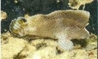 Comb velvet fish
