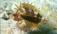 Dwarf lionfish. Samara