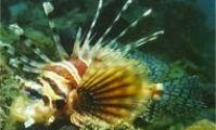 Dendrochirus zebra. Lionfish. Samara