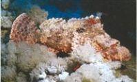 Scorpaenopsis fish