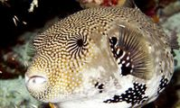 Tetraodontidae. Blowfish.