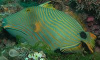 Triggerfish Red sea