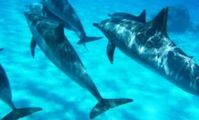 Dolphins of red sea